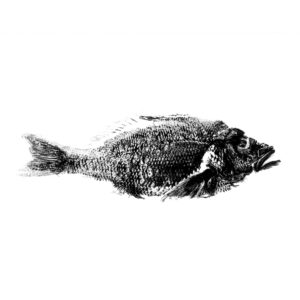 silly white snapper originele print